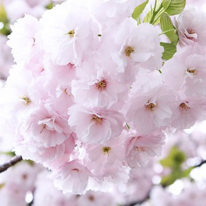 2015/04/12の桜