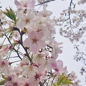 16/03/31の桜