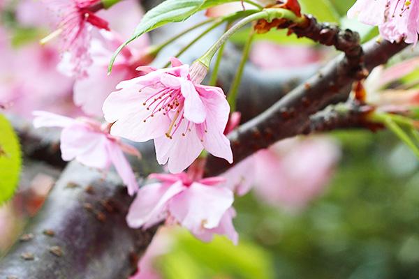 江ノ島の河津桜
